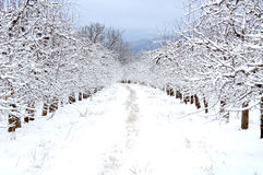 Apple orchard covered with snow Royalty Free Stock Photography