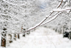 Apple orchard covered with snow in winter Stock Photos