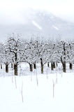 Apple orchard covered with snow in winter Stock Images