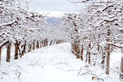 Apple orchard covered with snow in winter Stock Photo