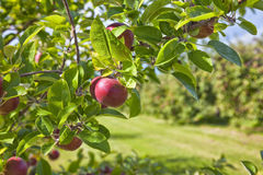 Apple Orchard Detail. Ripe red apples hanging on a tree in an apple orchard Stock Images