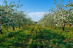 Apple orchard in early spring at sunrise stock photo