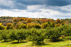Apple orchard in the fall. Stock Images