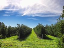 Apple orchard in fall Royalty Free Stock Photo