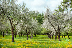 Apple orchard, flowering. Apple orchard on a sunny day, flowering on the background of sky, spring Stock Image