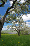 Apple Orchard with Flowers and Blue Sky Stock Image