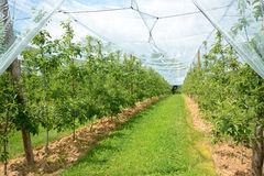 Apple orchard in France. Royalty Free Stock Photos