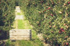 Apple garden full of riped red fruits Royalty Free Stock Photography