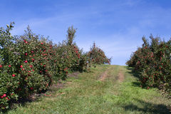 Apple Orchard full of rippend apples. Stock Photography