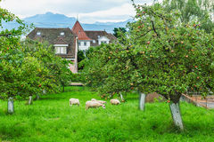 Apple orchard with grazing sheep Royalty Free Stock Photography