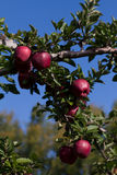 Apple Orchard Harvest. A bunch of red delicious apples at the apple orchard Royalty Free Stock Photo