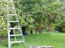 Apple orchard harvest. Ladder ready and waiting for fall apple harvest Royalty Free Stock Photo
