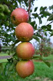 Apple orchard harvest Stock Image
