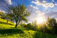 Apple orchard on hill side at sunset. Lovely rural summer scenery stock images