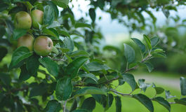 Apple Orchard  1. Image of apples in an orchard Royalty Free Stock Photo