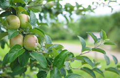 Apple Orchard  1. Image of apples in an orchard Royalty Free Stock Images