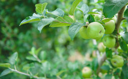 Apple Orchard  3. Image of apples in an orchard Stock Images