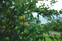 Apple Orchard  4. Image of apples in an orchard Royalty Free Stock Image