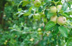 Apple Orchard  6. Image of apples in an orchard Stock Photography