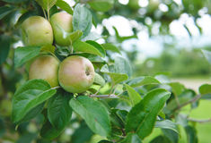 Apple Orchard  5. Image of apples in an orchard Royalty Free Stock Photography