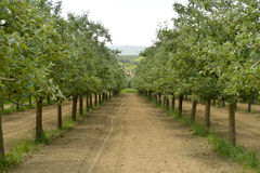 Apple orchard in june. Picture of a Apple orchard in june, in Macedonia Stock Photo