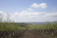 Apple orchard. Royalty Free Stock Photography