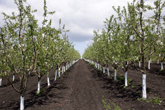 Apple orchard. Royalty Free Stock Photos