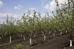Apple orchard. Stock Photography