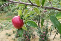 Apple in Orchard royalty free stock image