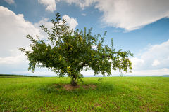 Apple Orchard Lone Tree South Carolina Upcountry Stock Image