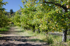 Apple Orchard. Looking down the row in the apple orchard Royalty Free Stock Image