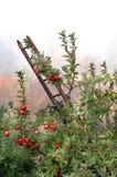 Apple Orchard in Mist Stock Photo