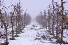 apple orchard mist an snow Royalty Free Stock Images