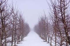 apple orchard mist an snow Royalty Free Stock Photography
