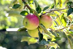 Apple Orchard in the morning Stock Photo