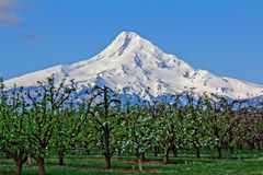 Apple Orchard and Mount Hood Stock Photography