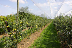 Apple orchard with nets. To protect against hail and birds Royalty Free Stock Image