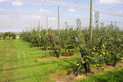 Apple orchard with nets Royalty Free Stock Photography