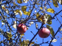 Apple orchard in October. Beautiful blue sky. stock images