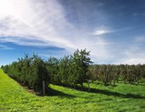 Apple orchard in late afternoon Royalty Free Stock Photography