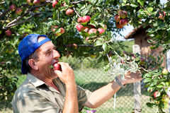 Apple orchard and old farmer Stock Photography