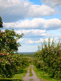 Apple orchard pathway. With red apples on the trees Royalty Free Stock Images