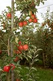 Apple orchard before the pick Stock Images