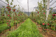 Apple orchard with protection nets. Merano, Italy. Apple orchard with protection nets and with ripe red apples. Merano, Italy Stock Photos
