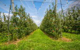 Apple orchard with protection nets. Merano, Italy. Apple orchard with protection nets and with ripe red apples. Merano, Italy Stock Image