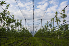 Apple orchard with protective nets Stock Photos