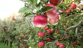 Apple Orchard ready for harvest. Mornig shot after the rain Royalty Free Stock Images