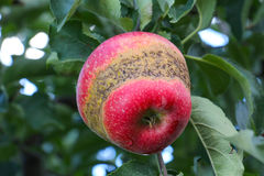 Apple Orchard ready for harvest Royalty Free Stock Image