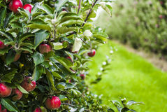 Apple orchard. Red apples in orchard, Poland Royalty Free Stock Images