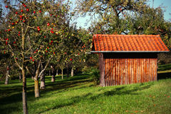 Apple orchard with red apples on the trees. And a wooden rustic  house for your advertise or your text Stock Photography